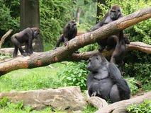 Familia de gorilas imágenes de archivo libres de regalías