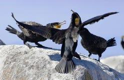 Familia de grandes cormoranes Fotografía de archivo