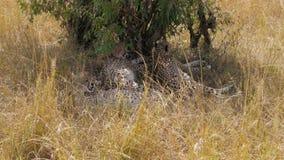 Familia de guepardos africanos que descansan en la sombra de un árbol en sabana almacen de video