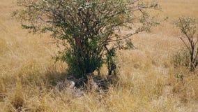 Familia de guepardos africanos que descansan en la sombra de un árbol en Sunny Day caliente metrajes