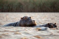 Familia de hipopótamos en el río en Suráfrica fotos de archivo