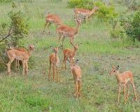 Familia de impalas en el parque Kruger Suráfrica imagen de archivo