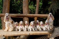 Familia de inglés cocker spaniel con el pequeño perrito Imagen de archivo libre de regalías