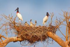 Familia de Jabiru en padres de la jerarquía con los polluelos Jabiru joven, jerarquía del árbol con el cielo azul, Pantanal, el B Imágenes de archivo libres de regalías