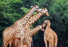Familia de jirafas Foto de archivo