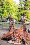 Familia de jirafas Imágenes de archivo libres de regalías