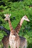 Familia de jirafas Fotografía de archivo