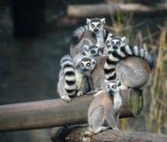 Familia de lémures anillo-atados Imagenes de archivo