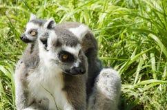 Familia de lémures anillo-atados Fotografía de archivo