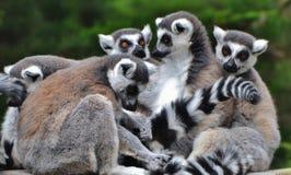 Familia de lémures anillo-atados Foto de archivo