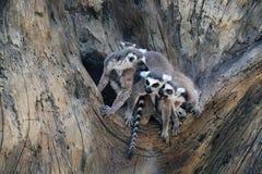 Familia de lémures en el fondo de madera Imagenes de archivo