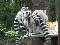 Familia de lémures Ringtailed Fotografía de archivo libre de regalías