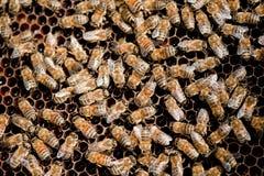 Familia de la abeja Foto de archivo