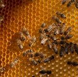 Familia de la abeja Fotos de archivo