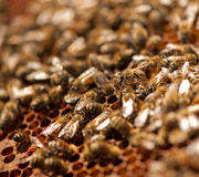 Familia de la abeja Fotografía de archivo libre de regalías