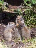 Familia de la ardilla de tierra de Uinta Foto de archivo libre de regalías