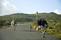 Familia de la avestruz Imagen de archivo libre de regalías