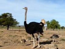 Familia de la avestruz Imágenes de archivo libres de regalías