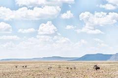 Familia de la avestruz en una granja cerca de Jagersfontein Fotografía de archivo