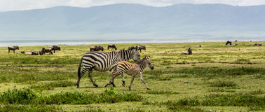 Familia de la cebra en el cráter de Ngorogoro Fotografía de archivo