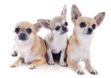 Familia de la chihuahua Foto de archivo