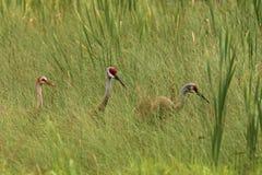 Familia de la grúa de Sandhill en la hierba larga, canadensis del Grus Fotos de archivo