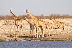 Familia de la jirafa Imagenes de archivo