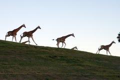 Familia de la jirafa Foto de archivo