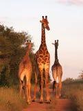 Familia de la jirafa Fotografía de archivo