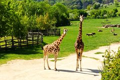 Familia de la jirafa Imágenes de archivo libres de regalías