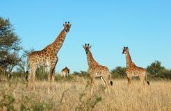 Familia de la jirafa en África Imagen de archivo libre de regalías
