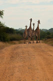Familia de la jirafa que recorre en el camino africano del savana Imagenes de archivo