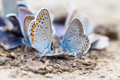 Familia de la mariposa Fotografía de archivo libre de regalías