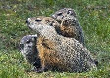 Familia de la marmota fotos de archivo