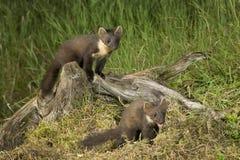 Familia de la marta de pino Imagen de archivo