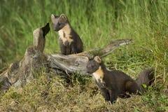 Familia de la marta de pino Fotos de archivo