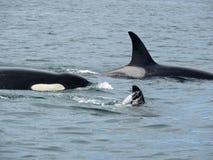 Familia de la orca Imagen de archivo libre de regalías