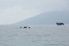 Familia de la orca en la región salvaje Imagen de archivo