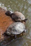 Familia de la tortuga Imagen de archivo