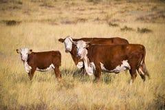 Familia de la vaca Imagen de archivo libre de regalías