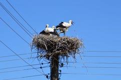 Familia de las cigüeñas en su jerarquía alta en los posts eléctricos Fotografía de archivo libre de regalías