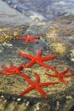 Familia de las estrellas de mar Imagen de archivo libre de regalías