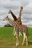 Familia de las jirafas Fotos de archivo libres de regalías