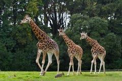 Familia de las jirafas en el parque de la fauna Imágenes de archivo libres de regalías