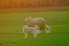 Familia de las ovejas imagenes de archivo