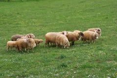 Familia de las ovejas Foto de archivo libre de regalías
