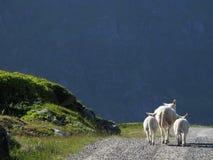 Familia de las ovejas foto de archivo