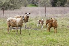 Familia de las ovejas Imágenes de archivo libres de regalías