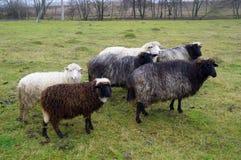 Familia de las ovejas Fotografía de archivo libre de regalías