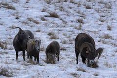 Familia de las ovejas de Bighorn Imagen de archivo libre de regalías